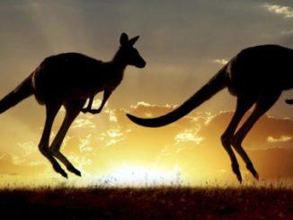 australian,kangaroo